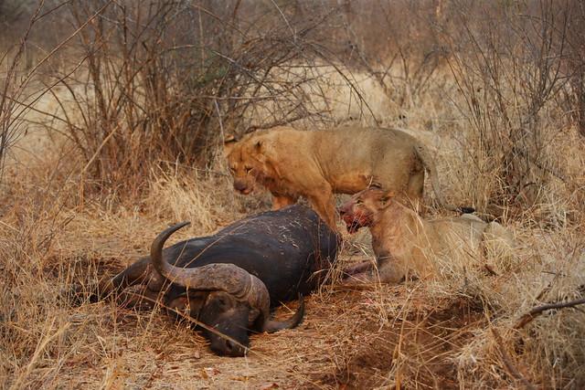 man eaten by lion - 640×427