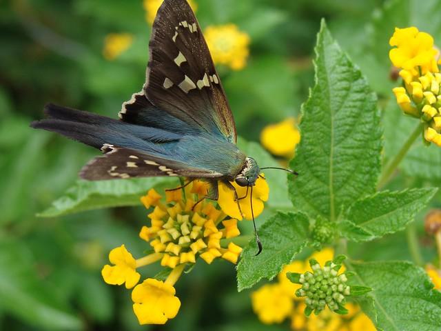 Blue Green Butterfly Long Tailed Skipper On Lantana