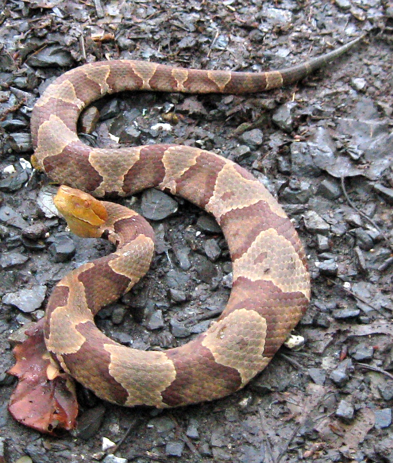 Northern Copperhead Snake in Morgan County, West Virginia ...