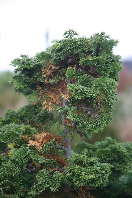 Hinoki False Cypress Chamaecyparis Obtusa Compacta