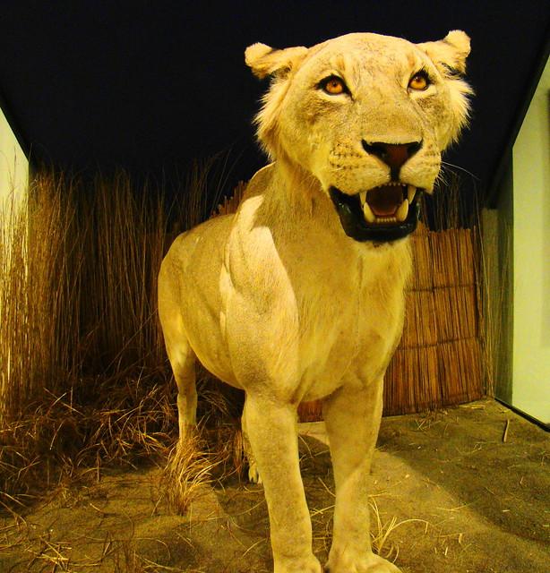 man eaten by lion - 614×640