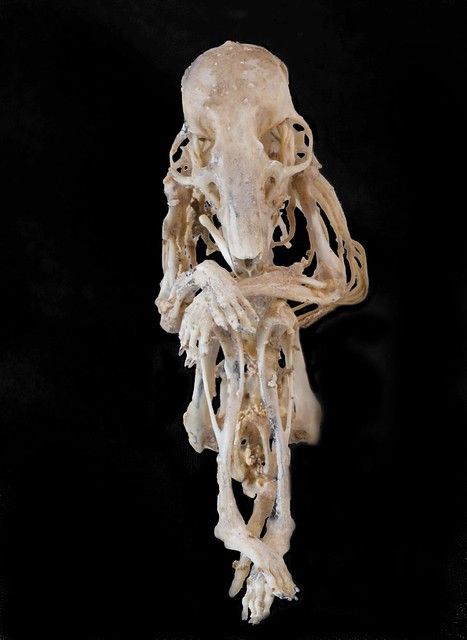 Hamster Skeleton In Sitting Position Flickr Photo Sharing