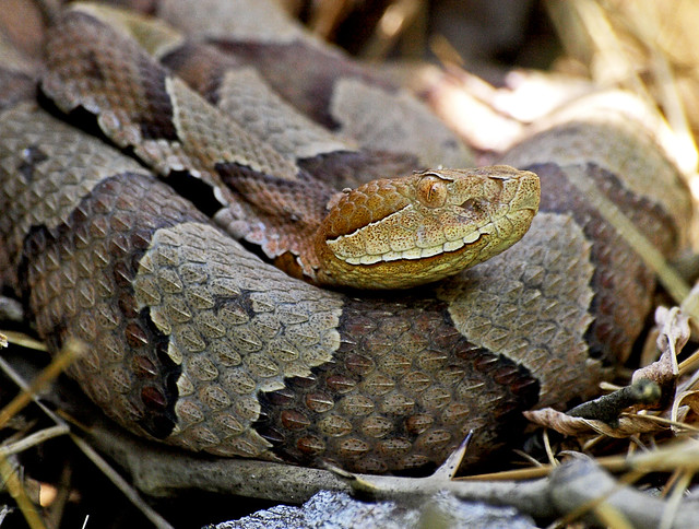 Northern Copperhead venomous snake | Flickr - Photo Sharing!
