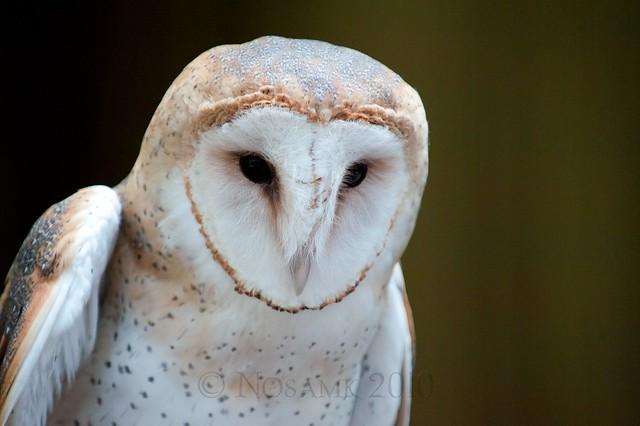 Emma the barn owl   Flickr - Photo Sharing!