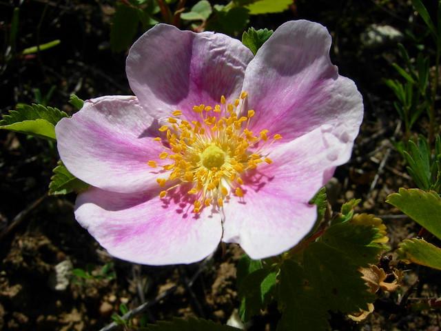 Wild Prairie Rose Flickr Photo Sharing
