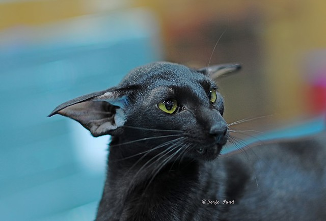 Lavender Oriental Shorthair