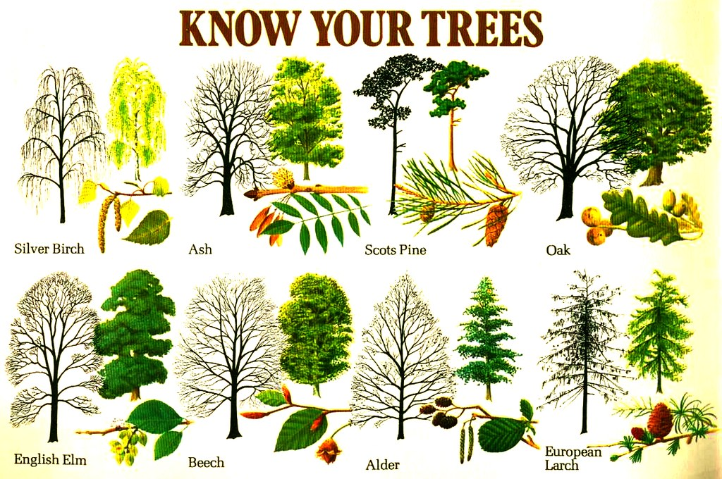 Know Your Trees! - a photo on Flickriver