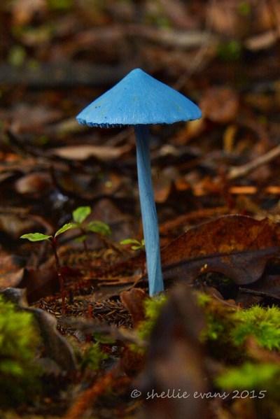 Sky Blue Mushroom (Entoloma hochstetteri) Lake Kaniere ...