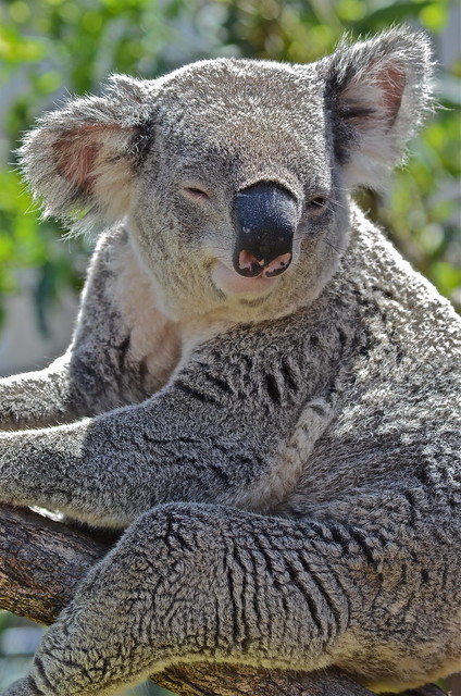 Smiling Koala | Flickr - Photo Sharing!