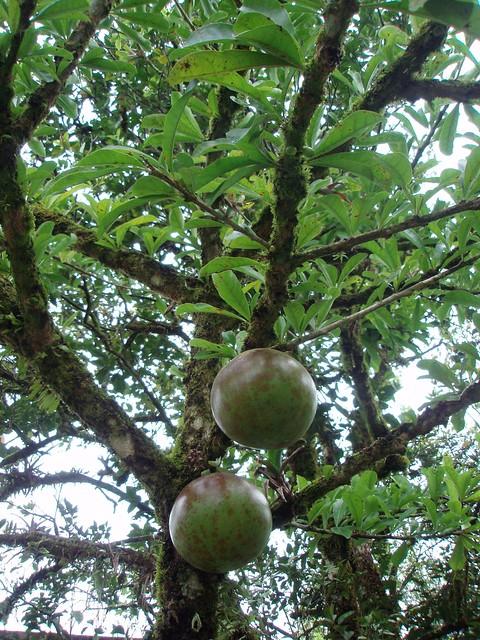 193 Rbol De J 237 Caro Con Fruta Jicaro Tree Crescentia Alata