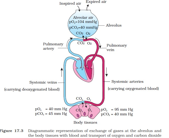 NCERT Class XI Biology: Chapter 17 - Breathing and ...