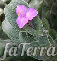 Tradesscantia Sillamontana (Tradescantia Sillamontana)