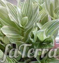 TRONESCTION Strip - Alt om fedreplanter