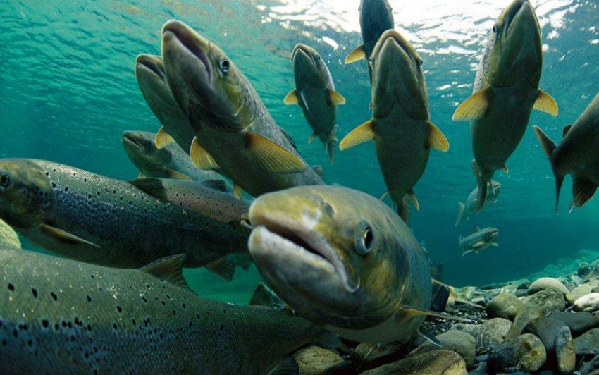স্যালো মাছ