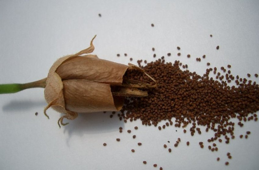 तंबाकू बीज