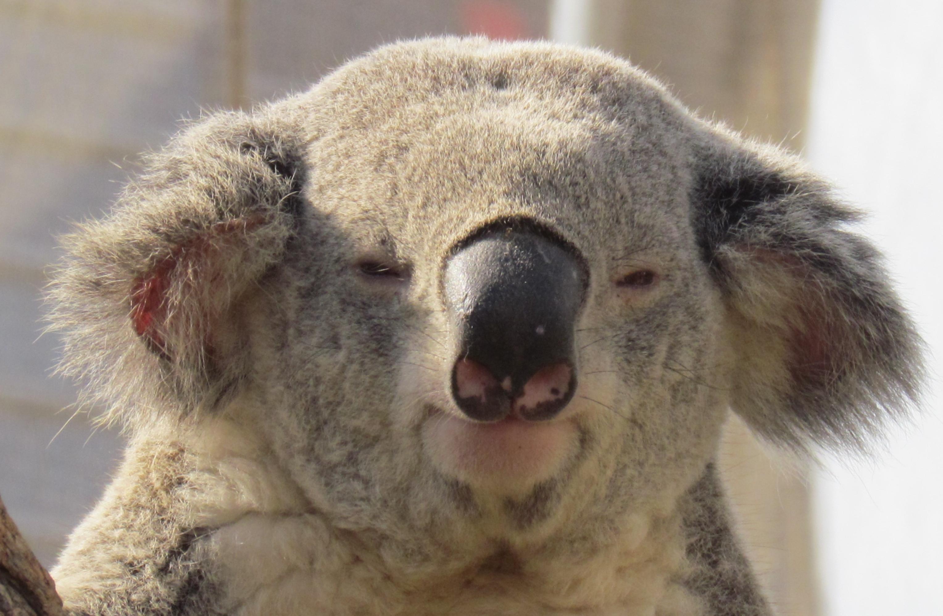 koala | ffeathers
