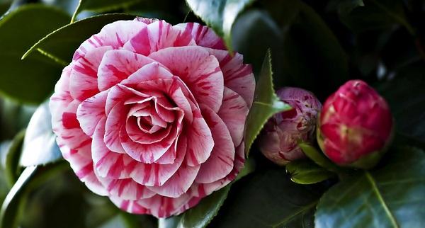 камелия цветок уход в домашних