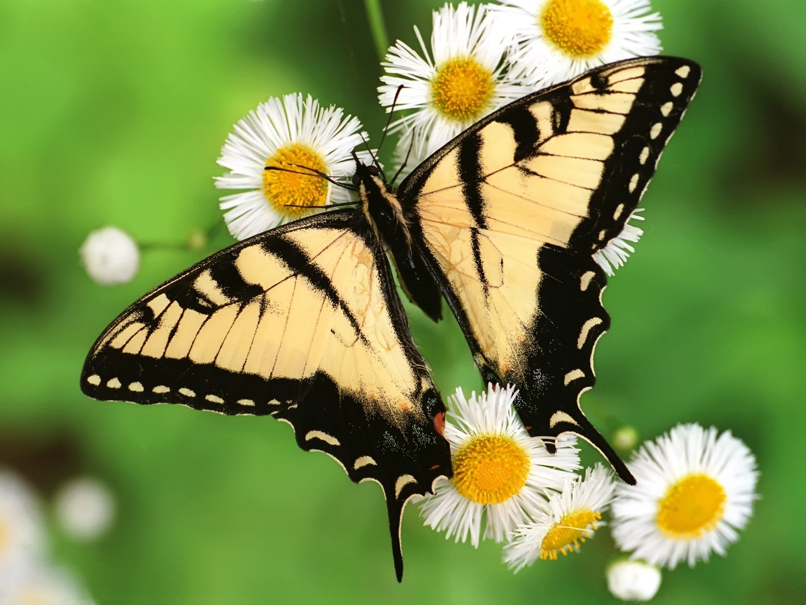 Tiger Swallowtail Butterfly Wallpaper Butterflies Animals Wallpapers     Tiger Swallowtail Butterfly Wallpaper Butterflies Animals Wallpapers
