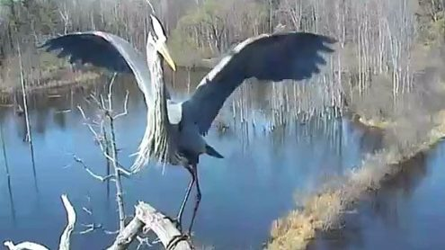 Behind the Scenes of Our Bird Cams  Video    All About Birds Great Blue Heron at Bird Cam nest