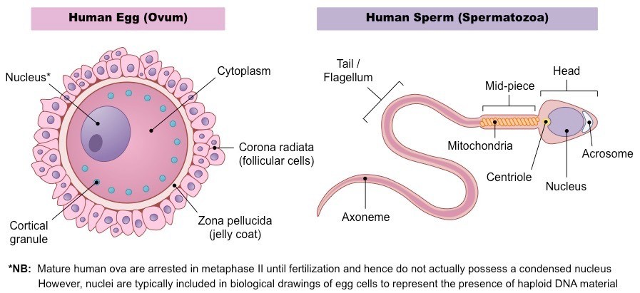 Human Reproduction - Study Material for NEET (AIPMT ...