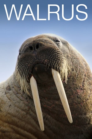 Walrus Cam - Live Video of Walruses on Round Island ...