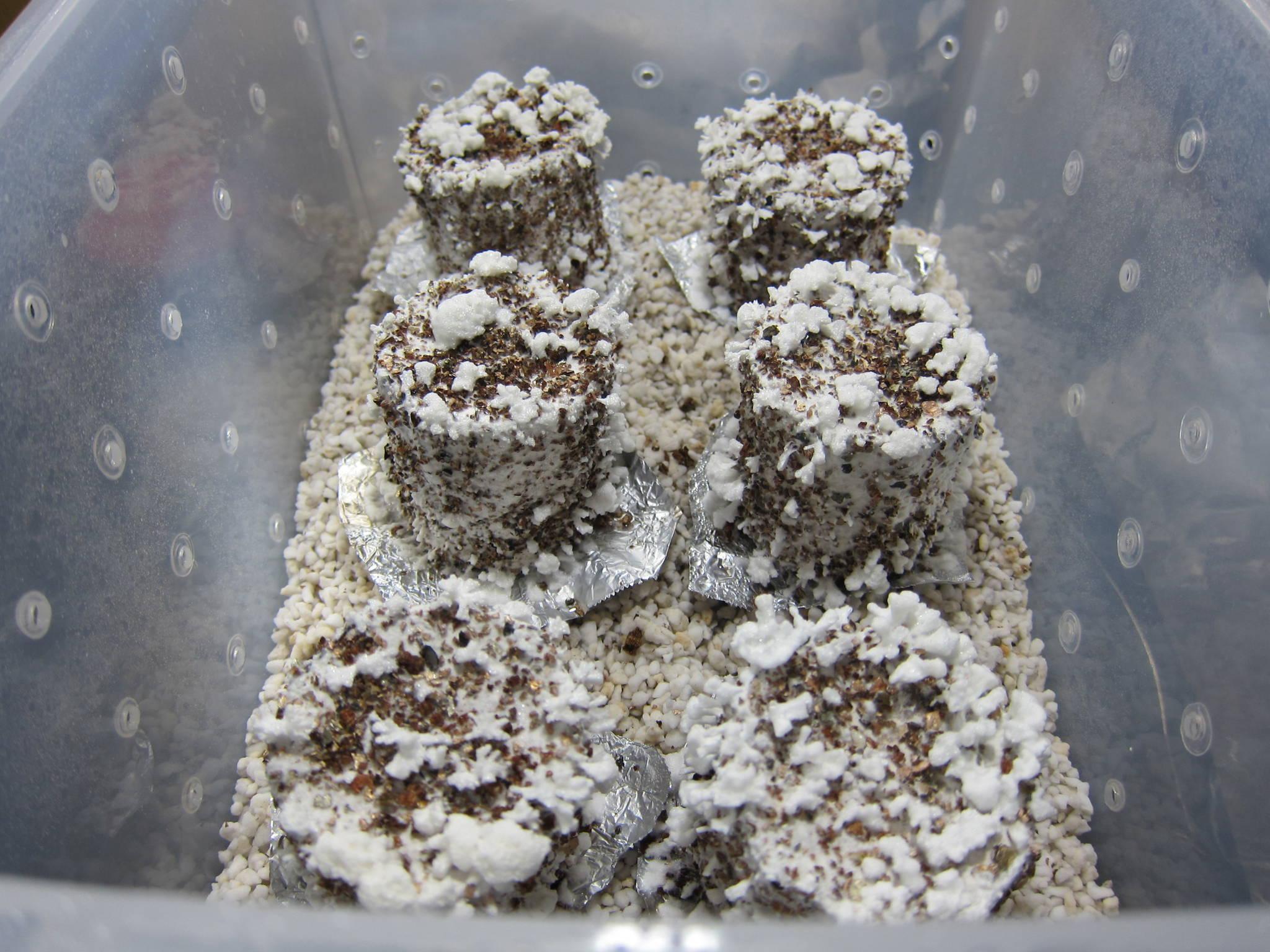 Lots Of Aerial Mycelium Mushroom Cultivation Shroomery