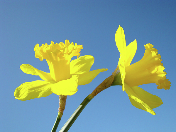 Spring Yellow Daffodils Flowers Blue Sky Baslee Troutman Photograph     Spring Photograph   Spring Yellow Daffodils Flowers Blue Sky Baslee  Troutman by Baslee Troutman