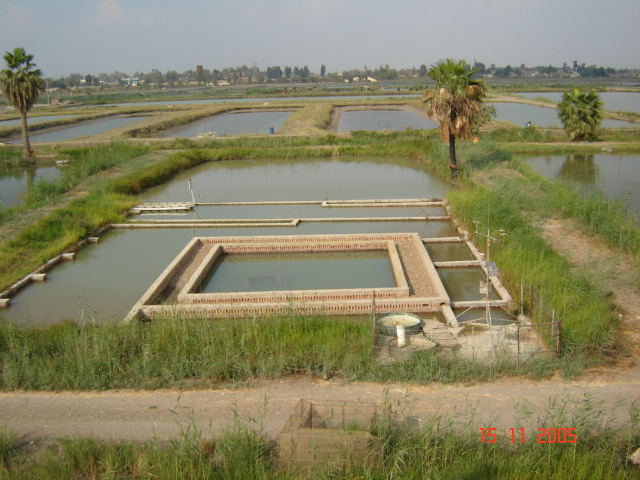 Shrimp Pond Construction