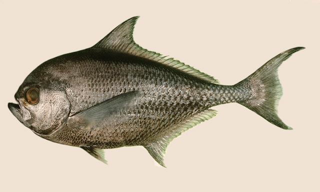 Bramidae
