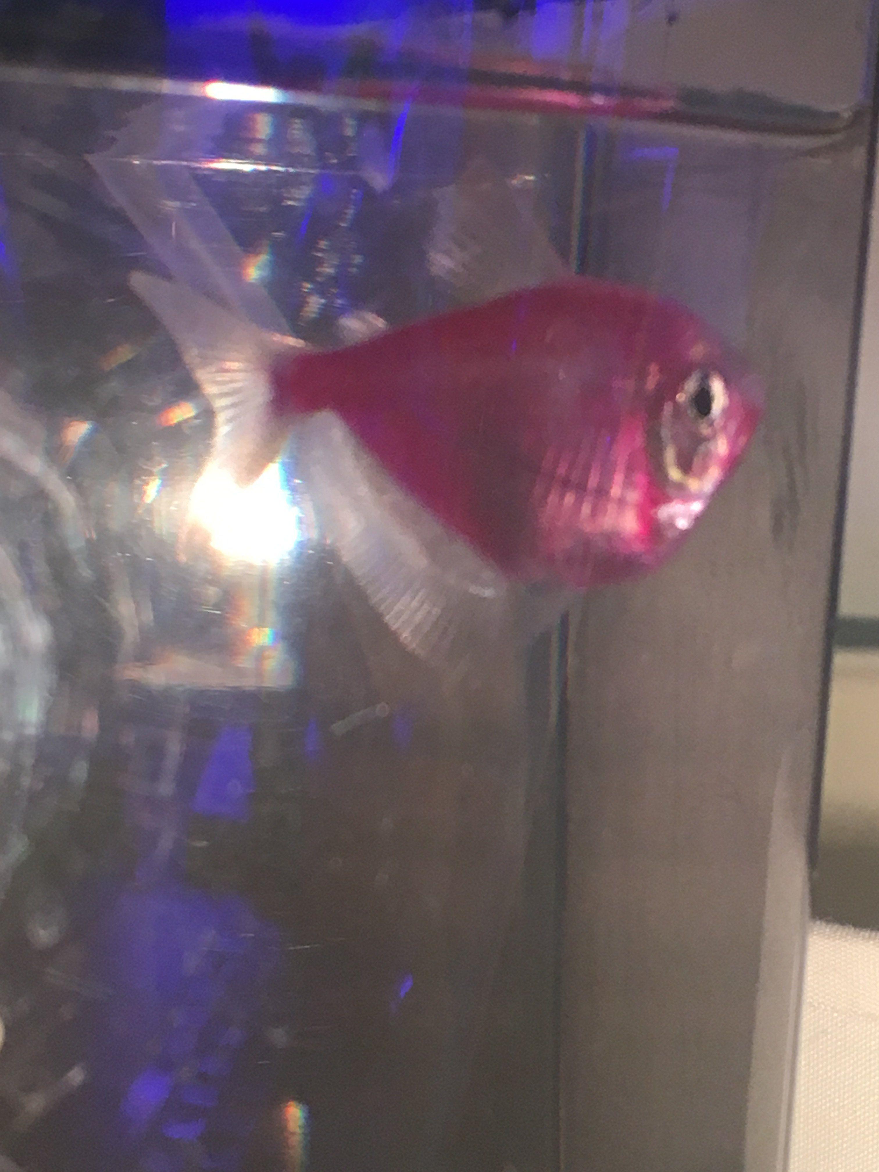 bloated glofish! pregnant or swim bladder? | Tropical Fish ...