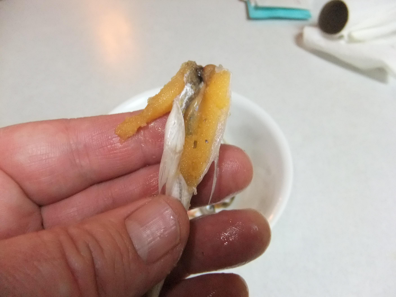 Glofish Eggs