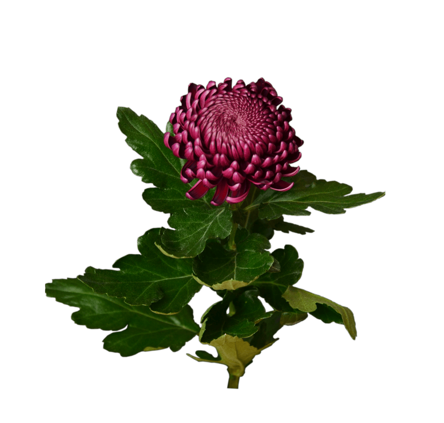 Order bouquet of flowers Burgundy chrysanthemum with delivery across     Burgundy chrysanthemum     Flower shop STUDIO Flores