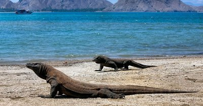 Komodo Island, The Real Habitat of Komodo Dragons