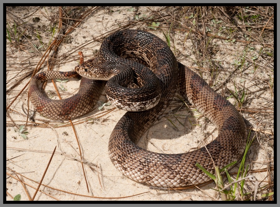 Florida Pine Snake Florida Backyard Snakes