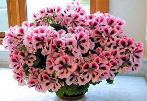 Royal Pelargonium