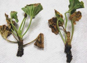 Kaki hitam di pelargonium