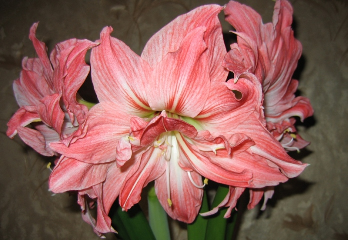Hippeastrum Lady Jane