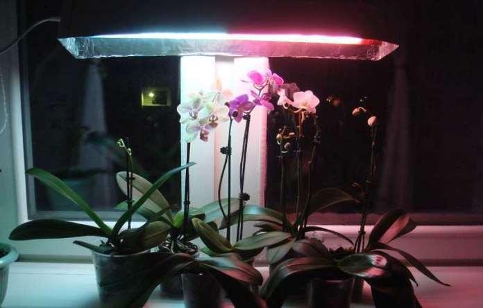 Phalaenopsis theo phytolamma.