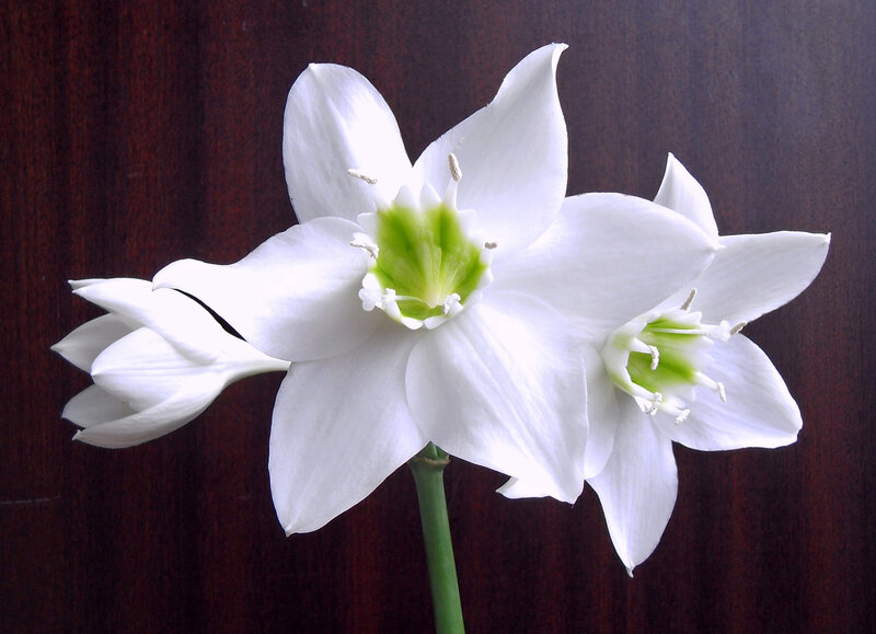 Foto Amazon Lily