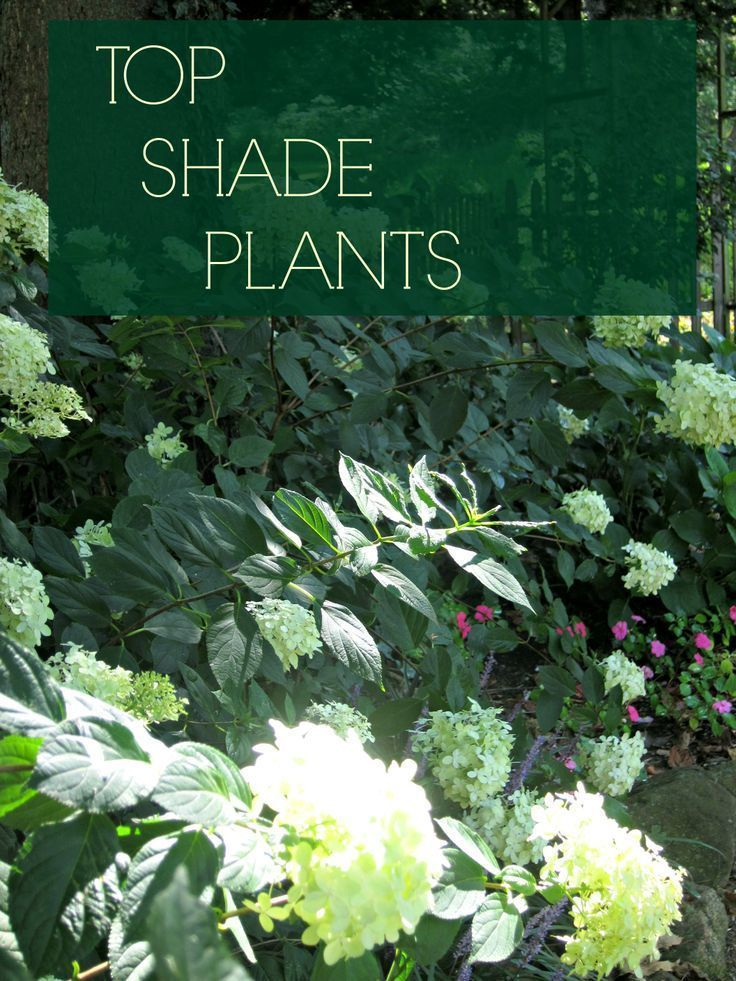 Flowers  which like shade   Flowers reviews best plants for shade