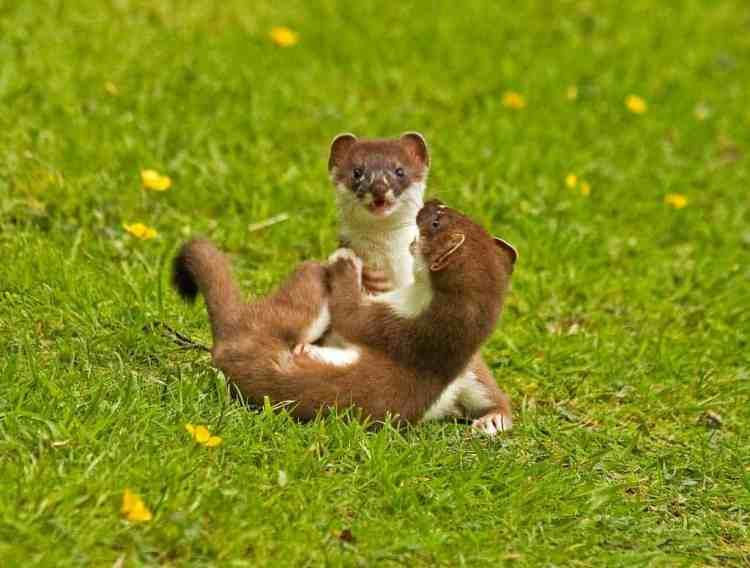 Young Stoats Playing For Keeps