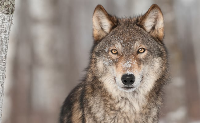 Petition: Stop the Swedish Wolf Hunt