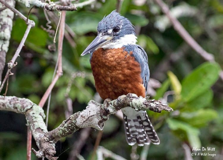 Kingfishers in the Pantanal