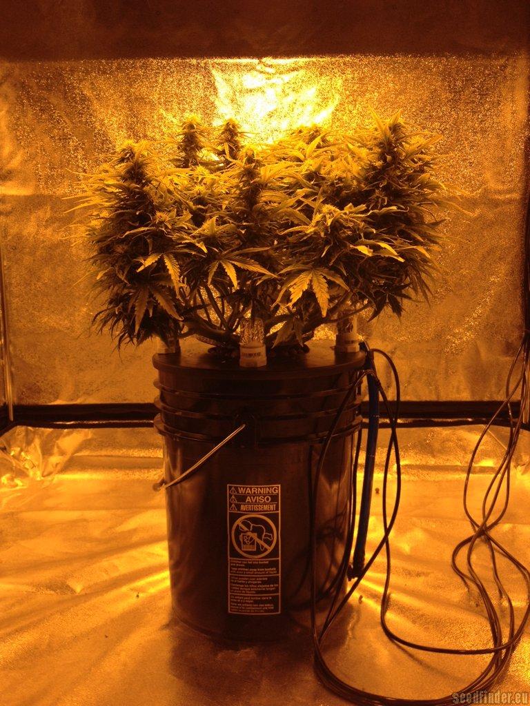 Northern Light Seed