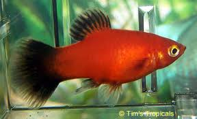 Platy - Freshwater Fish Facts