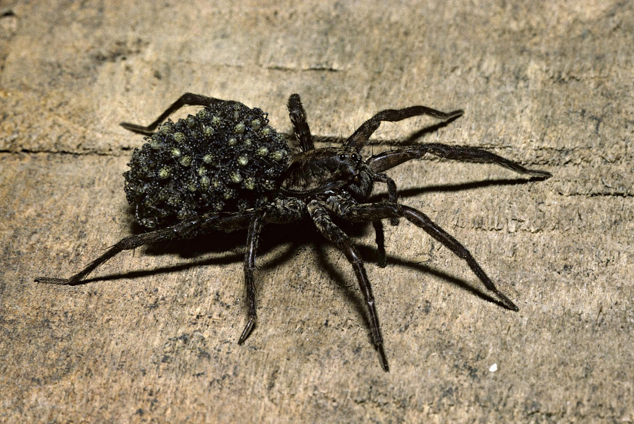 Habits and Traits of Wolf Spiders, Family Lycosidae