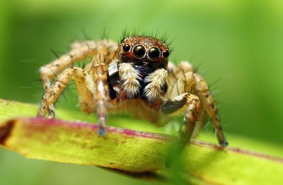 Habits and Traits of Jumping Spiders, Family Salticidae