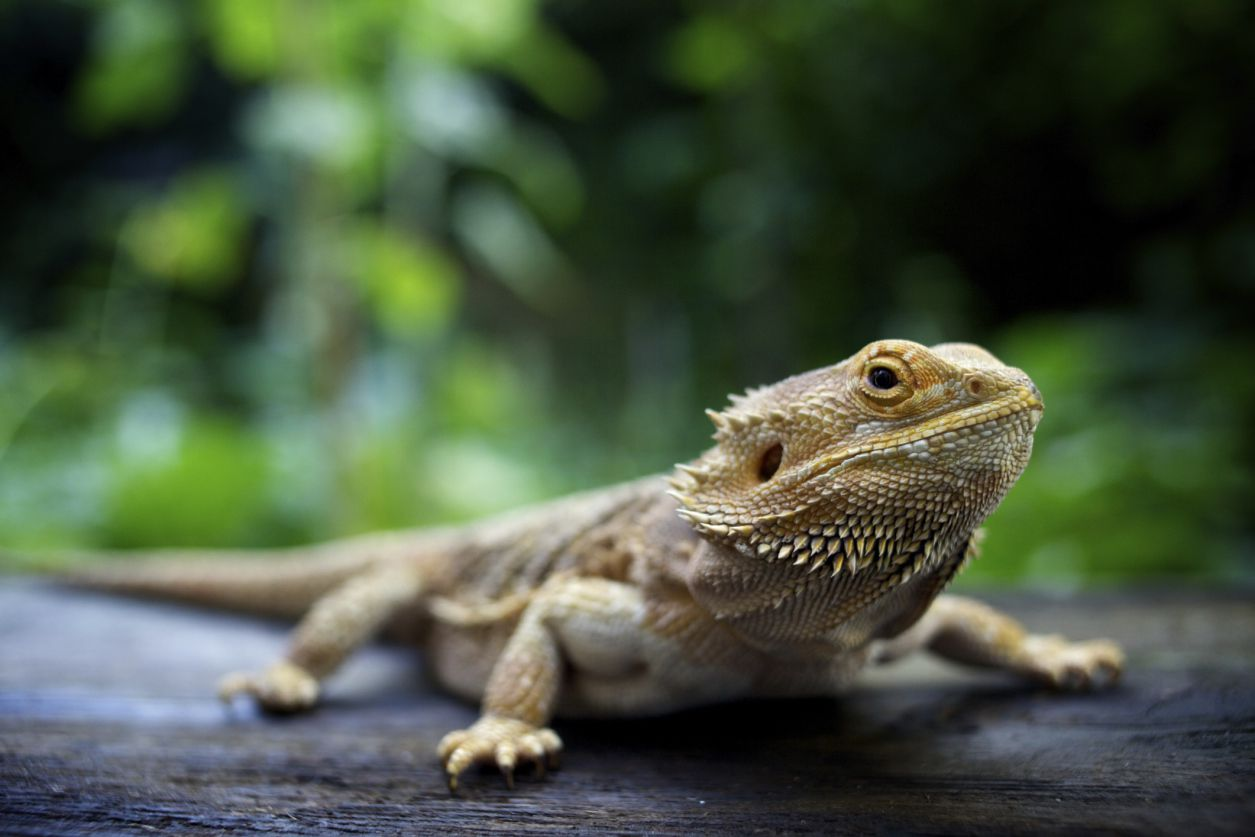 Bearded Dragon Prolapse - Causes and Solutions