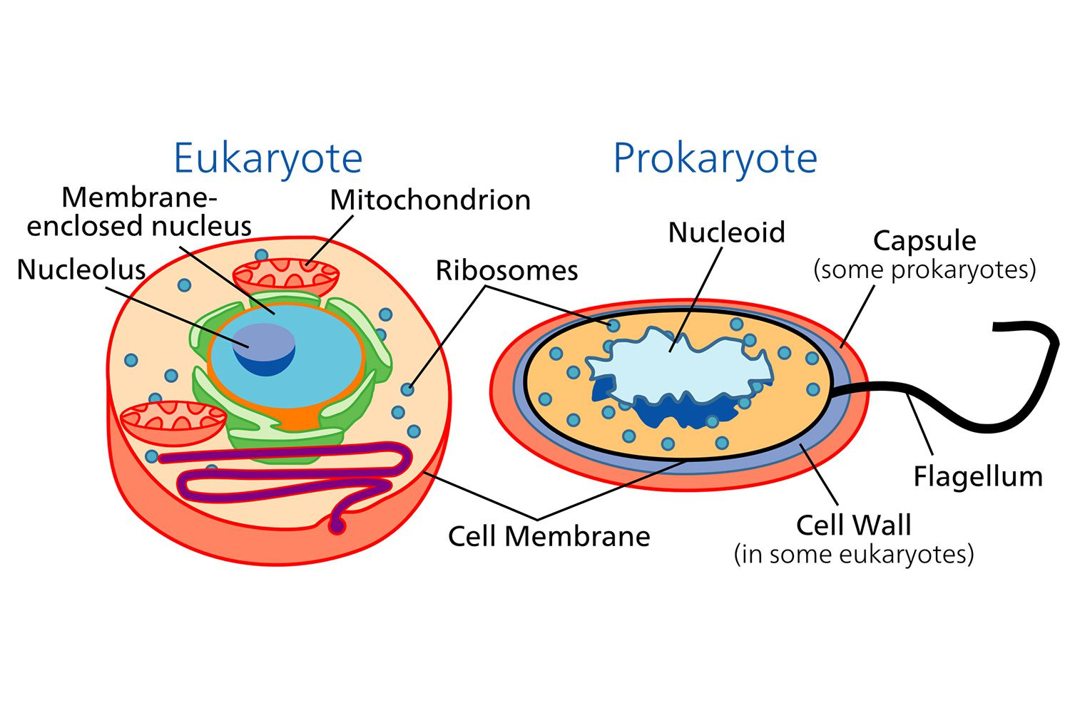 Cell Prok Ryotic Nd Euk Ryotic Cells