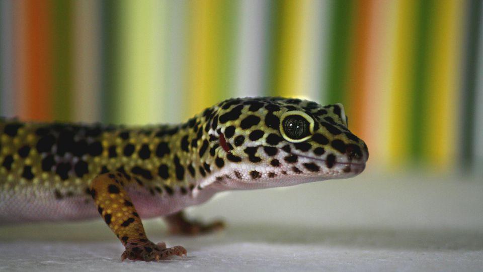 Calcium Powder Leopard Geckos